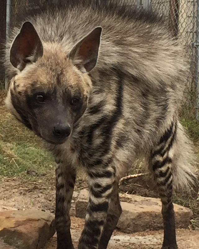 Striped Hyenas